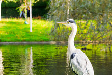 Grey Heron Standing Over The Boating Lake In Regent's Park Of London
