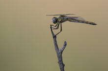 Closeup Of Colorful Dragonfly On Stick In Summer Nature