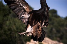 Large Wild Griffon Vulture Searching For Food And Soaring Over Rocky Rocky Terrain With Green Forest