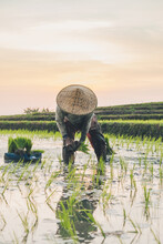 A Worker Working In A Rice Field