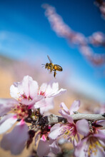Hardworking Bee Sipping Sweet Nectar On Tender Pink Flower Growing On Blossoming Almond Tree In Spring Garden On Sunny Day