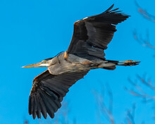 Great Blue Heron On The Lake