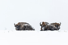 Wild European Bisons On The Field, Snow Covered, Landscape Panorama