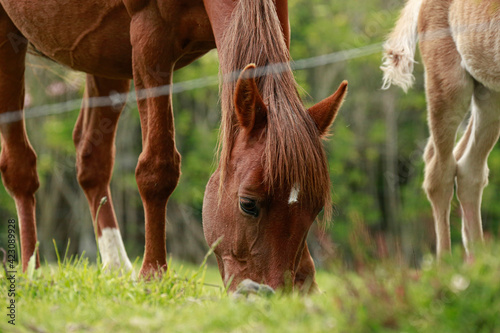 Fototapeta horse and foal