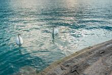 Cygne Sur Le Lac De Côme - Italie