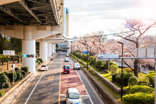 Riverbank Street Lined Cherry Trees In Blossom Running Under An Elevated Motorway On A Sunny Spring Day. Tokyo, Japan.