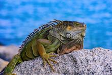 Green Iguana Iguana Iguana , Also Known As The American Iguana.