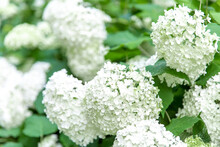 Gros Plan D'un Groupe De Fleurs Blanches Formant Une Boule En été Avec Feuilles Vertes En Arrière Plan
