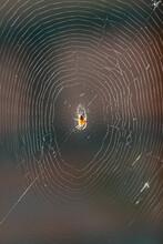 European Garden Spider Or Cross Orb-Weaver Eating A Captured Fly