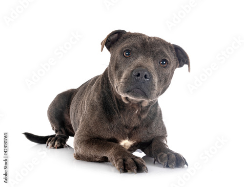 Leinwand Poster staffordshire bull terrier