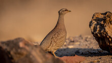 Isolated Close Up Of A Beautiful Single Female Sand Partridge- Southern Israel