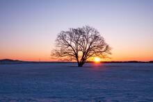 冬の豊頃町 ハルニレの木と日の出の風景