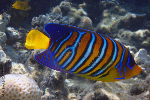 Fototapety, obrazy: Regal angelfish (Pygoplites diacanthus) in the coral reef