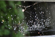 Wet Transparent Thin Web With Water Drops On The Background Of Green Leaves And Wood