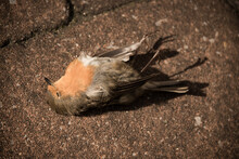 Portrait Of A Dead Deceased Bird (robin) On The Terrace Laying On Its Back; Hunted As Prey Of Our Cat
