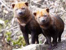 Two Male Bush Dogs, Speothos Venaticus, Stand Side By Side And Watch The Surroundings
