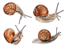 Watercolor Illustration Of A Set Of Snails Isolated On White Background
