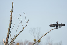 Lone Cormorant Sits On A Branch And Lets The Sun Warm Itself