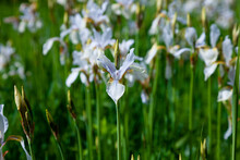 White Irises On The Flower Bed. Japanese Iris In The Garden. White Flowers In The Summer. The Buds Are In Bloom.