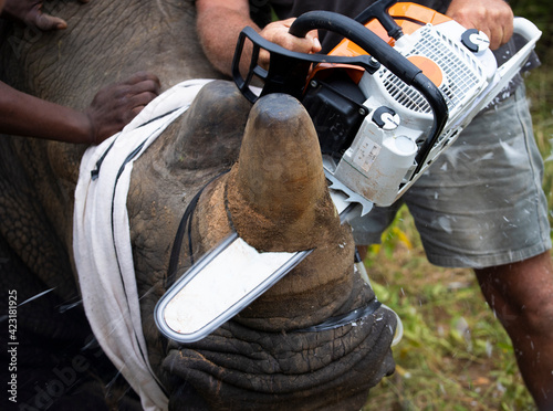 Valokuva White rhinoceros dehorning - chainsaw cutting the horn