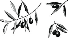 Set Of Olive Branch With Olives. Hand Drawing Vector Illustrations Isolated On White Background. Monochrome Engraving Technique.