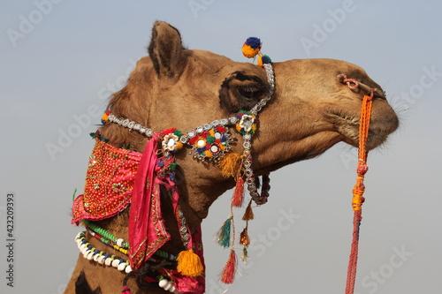 Photo camel in the desert