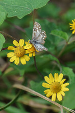 A Closeup Image Of A Tiny Brown And White Skipper Butterfly  At Work Pollinatiing In A Cluster Of Three Bright Yellow Daisies In A Shady Wetland