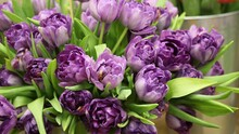 Background Of Purple Fully Open Tulips With Green Leaves On A Flower Show (tulip Variety - Blue Diamond), Large Format