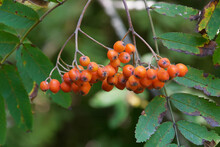 Pyracantha Coccinea :  Scarlet Firethorn, European Species Of Red Firethorn. Close Up Of A Cluster Of Tiny Orange Fruit