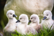 Family Of Baby Swans, Cygnets