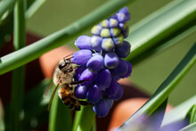 Bee On A Grape Hyacinth