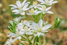 Several Open And Closed White Flowers From The Umbel Milchstern. Plant With Several Flowers In A Meadow. Flower In Spring. Genus Of The Milky Stars (Ornithogalum) Within The Asparagus Family