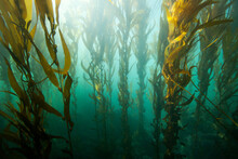 Kelp Forests In Bluff Cove, Palos Verdes Estates, California.