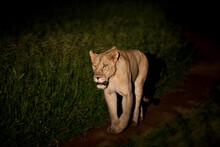 A Lone Lioness Hunting At Night In Zimbabwe.