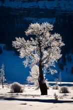 Hoarfrost On Cottonwood Tree