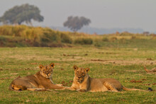 ..Two Wild Female Lions Sitting On The Plains, Stare, And Make Eye Contact With The Camera. Zimbabwe