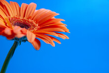 Macro Shooting Of Gerbera With Dew Drops On An Isolated Blue Background.