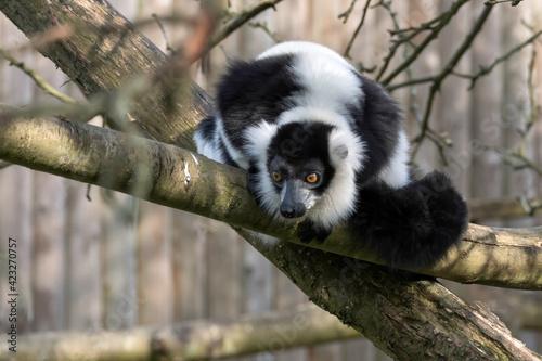 Fototapeta premium Black-and-White Ruffed Lemur (Varecia variegata)