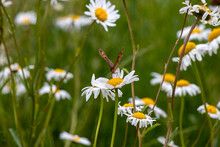 Butterfly And Oxeye Daisy