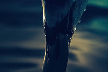 Closeup To Swan's Head. Swan Is Going To Deep Down His Head Into The Water. Aanimal Is Covered With Drops Of Water. Dark Blue Water On The Background. Dark Mood.