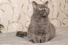 Pedigree Cat Of The British Scottish Breed Of Gray Ash Color Sitting On The Side On Blanket