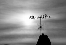 Black And White Photo With Birds Sitting On A TV Antenna Mounted On A Medieval Roof
