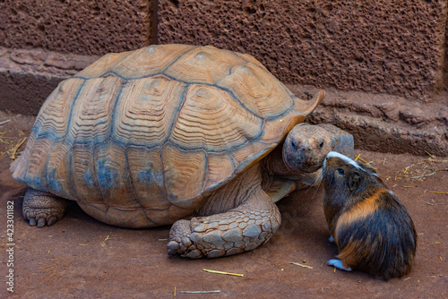Obraz African spurred tortoise and Guinea pig at Monkey park in Tenerife, Canary Islands, Spain - fototapety do salonu