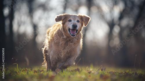 Fototapeta happy dog running obraz