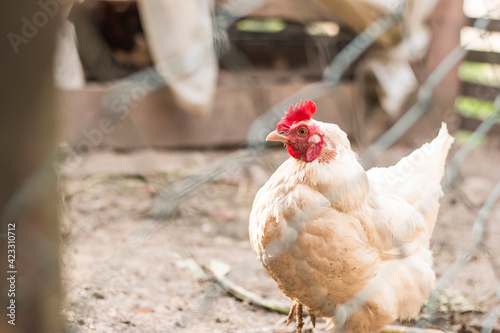 Canvas Print Hens in bio farm