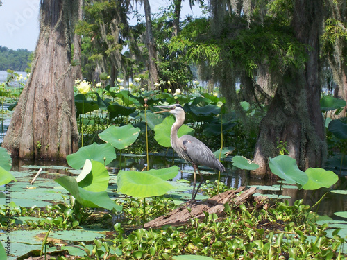 Obraz na plátně Heron Louisiana swamp
