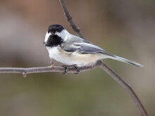 A Black-capped Chickadee (Poecile Atricapillus) On A Branch Up Close In Spring