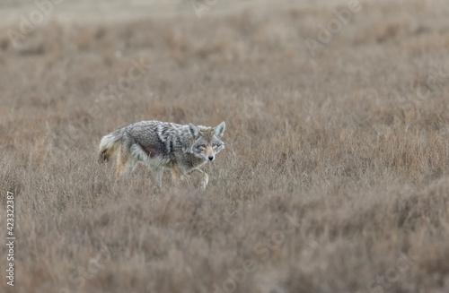 Fotomural An urban coyote