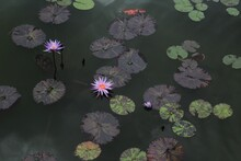 Beautiful Exotic Water Fountain With Lily Pads And Waterlily Flowers. Lotus Flower. Spa And Tranquility Concept