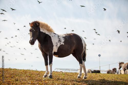 Fotografia, Obraz beautiful horse grazing at a horse farm